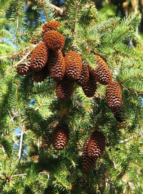norway spruce picea abies cones