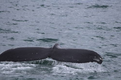 norwegian sea wal fluke