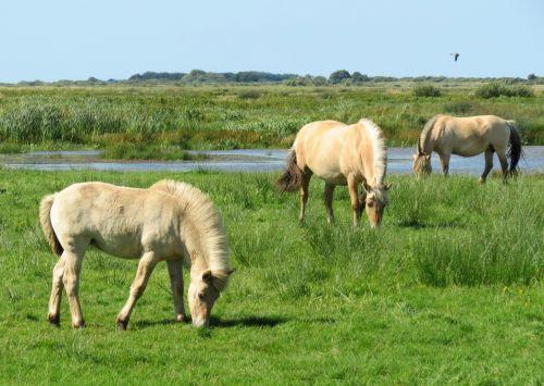 arklys, kumeliukai, kumelės, fjordas, skjern, pieva, ganymas, vanduo, vasara, denmark, Europa, Šiaurė, norvegų fjordas arkliukas