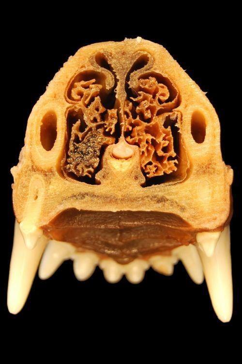 nosis,dantis,anatomija,šuo,veterinarinė medicina,caudalansicht,gomurys,Paruošimas,biologija,kaulas,nosies ertmė,kvapas,sine,mokslas,kaukolė