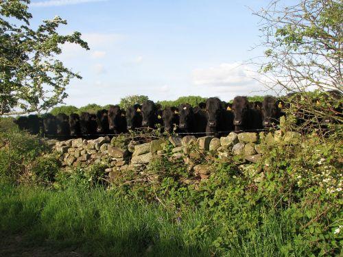 nosey cattle cumbria