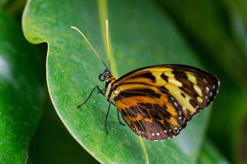 pastabos aistros drugelis,drugelis,tithorea harmonija