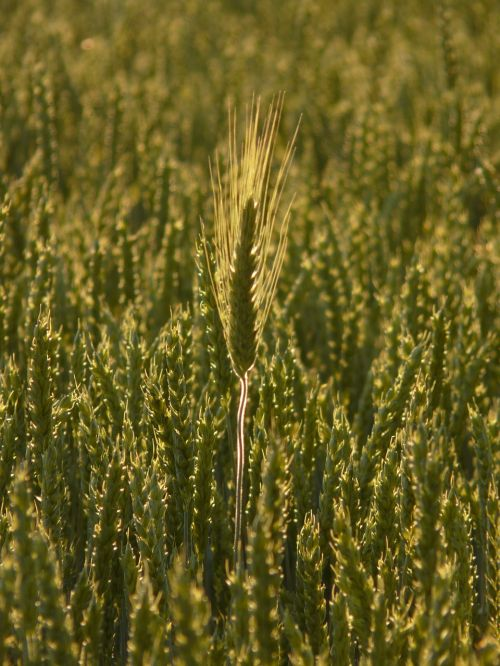 nourishing barley ear nourishing barley in wheat field
