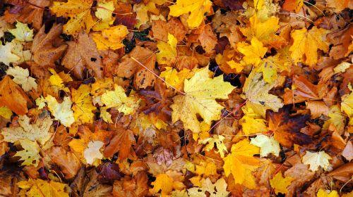 lapkritis,lapai,ruduo,Spalio mėn,raudona,sezonas,geltona,oranžinė,kritęs,migla,lapija,šlapias,oras,september,sausas