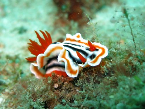 nudibranch chromodoris slug