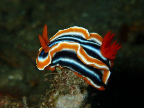 nudibranch nudi branch nudi
