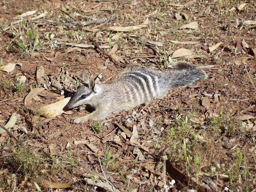 numbat anteater banded