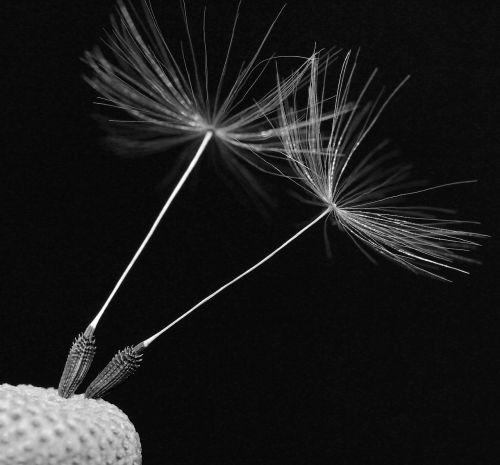 nuns dandelion plant