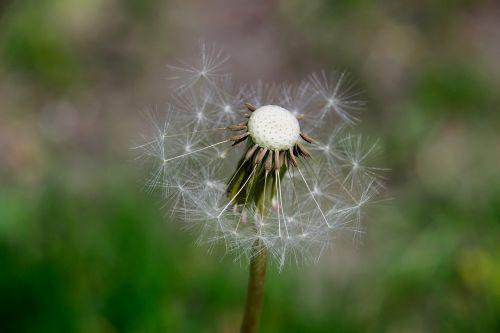 nuns seeds dandelion