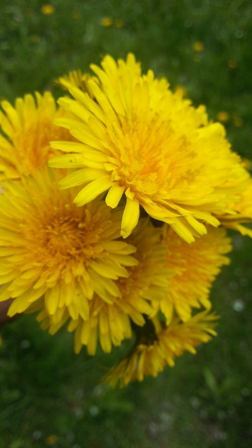 nuns dandelions dandelion