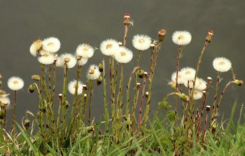 nuns  sonchus oleraceus  dandelions