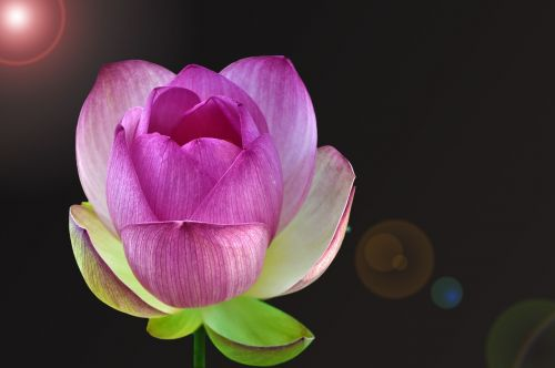 nuphar lutea water lily aquatic plant