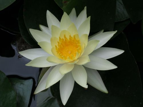 nuphar lutea water lily flowers