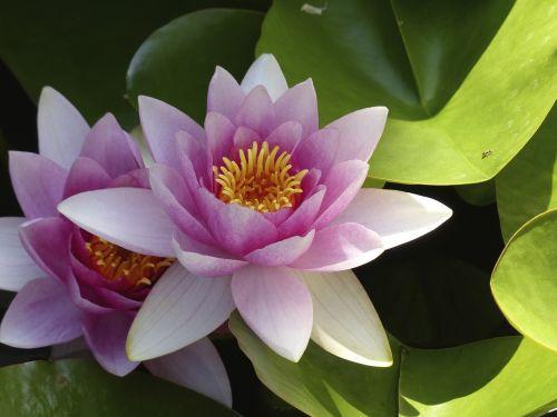 nuphar lutea blossom bloom