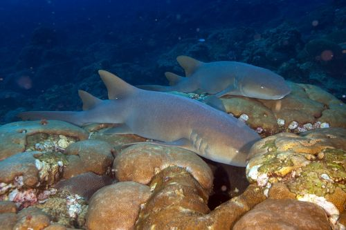nurse sharks sharks reef
