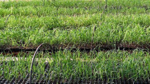 nursery seedlings sugarcane