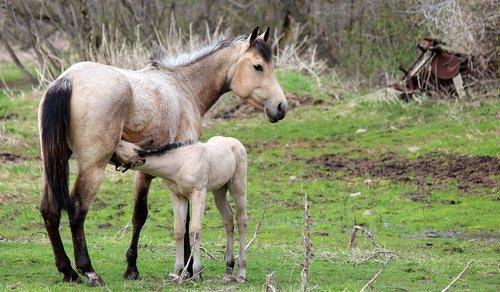 nursing  horse  animal