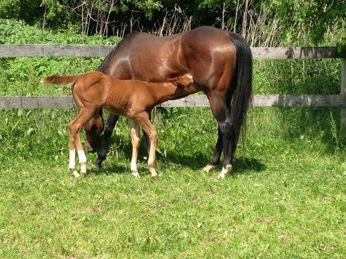 nursing horse foal