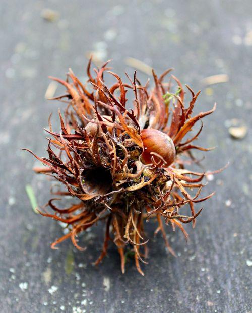 nut tree fruit autumn
