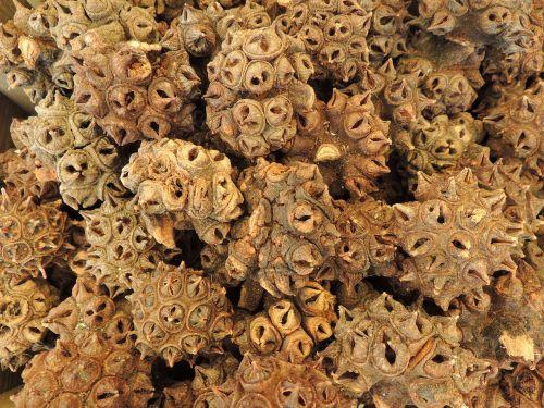 nut seeds spur
