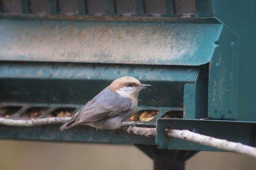 nuthatch  bird  bi