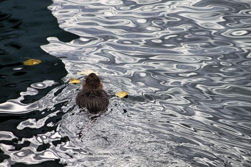 nutria water swim
