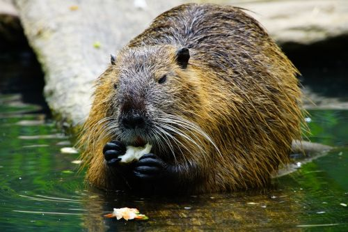 nutria eats beaver