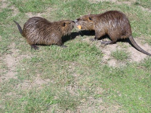 nutria food rodents