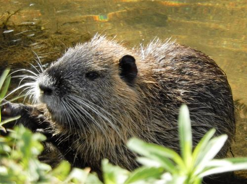 nutria river water rat