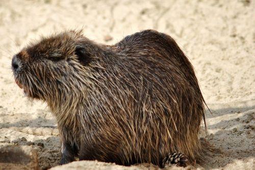 nutria rodent animal