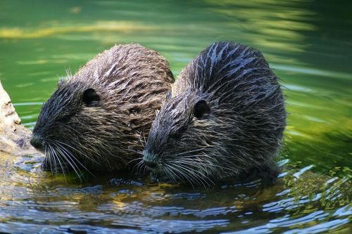 nutria rodent river