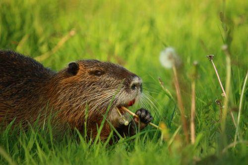 nutria coypu rodent