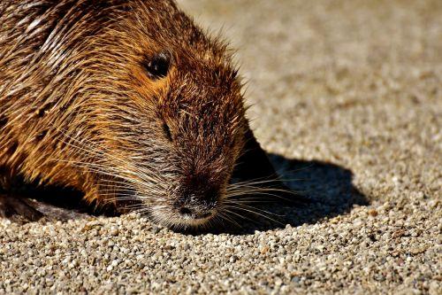 nutria water rat water