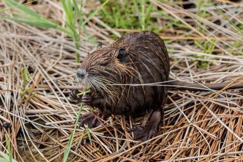 nutria coypu beaver tail
