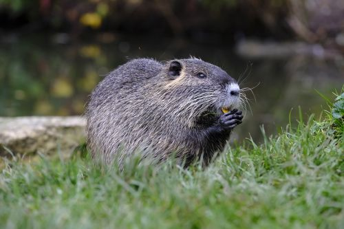 nutria beaver muskrat