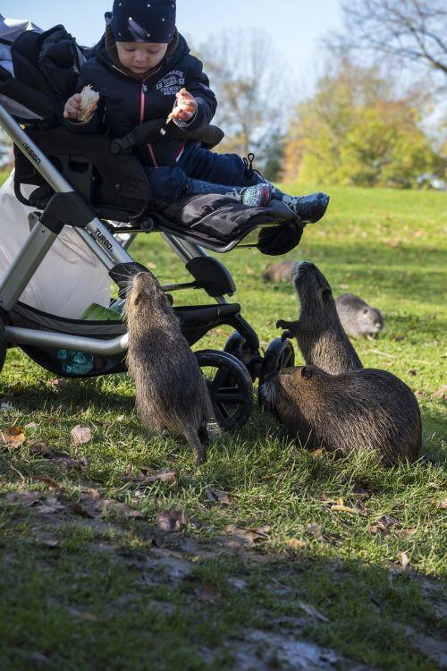 nutria beaver rodent