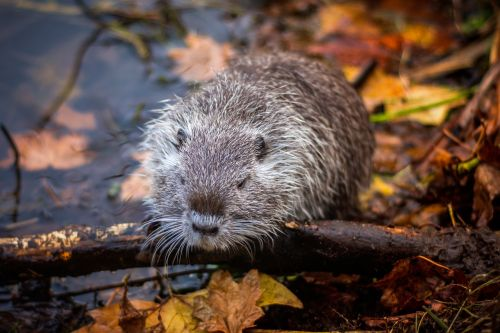 nutria lake rodent