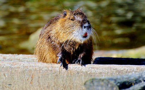 nutria rodent water rat