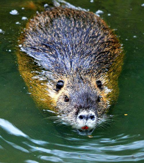 nutria rodent coypu