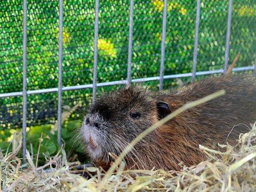 nutria  rodent  mammal