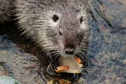 nutria  rodent  large rodent