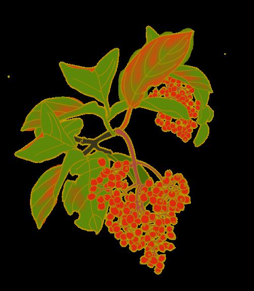 nuts red fruit viburnum