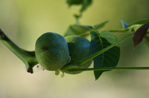 nuts immature tree