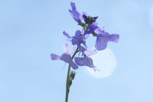 nuttallanthus canadensis spring flowers