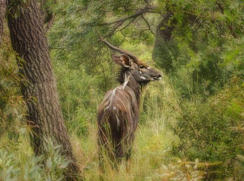 nyala buck safari