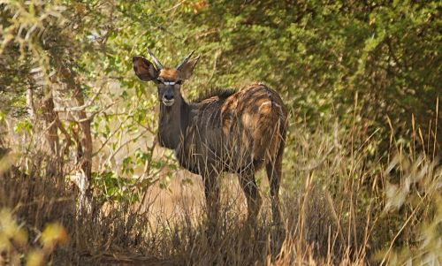 nyala markings antelope