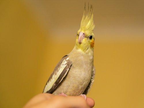 nymph  bird  cockatoo