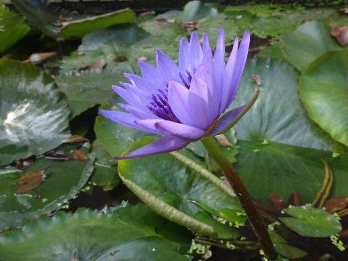 nymphaea alba lotus purple