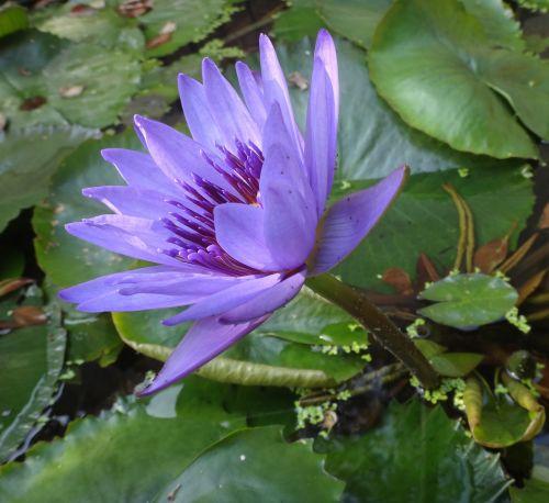 nymphaea alba purple nymphaea alba purple