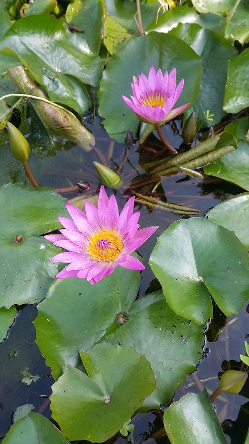 nymphaea alba  flower  purple nymphaea alba